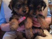 Tea Cup Yorkie Puppies Ready To Go!!