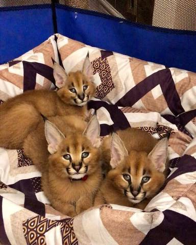 Adorable Caracal kittens ready for new loving home - Miami