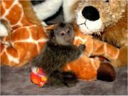 Socialized Finger Baby marmoset monkeys available