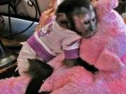 Male & Female Babies Capuchin,Marmoset,Squirrel & Spider.