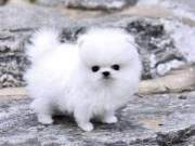 Beautiful tiny Pomeranian puppies for adoption