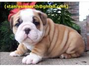 AKC registered English Bulldog Puppies.TEXT US <17747680125>