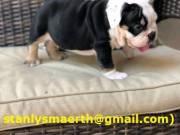 AKC registered English Bulldog Puppies.
