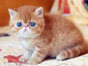 Exotic shorthaired ready they