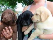 AKC Quality Labrador Retriever Puppies for free adoption!!!