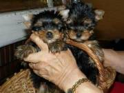 Adorable Yorkie Puppies For Adoption