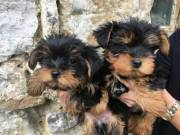 Show Quality Yorkshire Terrier pups.contact..(409) 209-1003