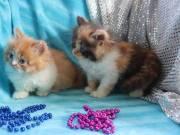 lovely munchin kittens for sale