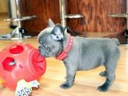 2 Outstanding french bulldog puppies