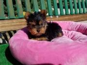 Male and Female Yorkie Puppies +1(872)401-5945