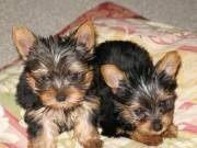 Excellent Yorkie Puppies Available For Good Homes