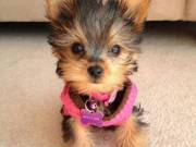 have 2 Yorkie puppies available