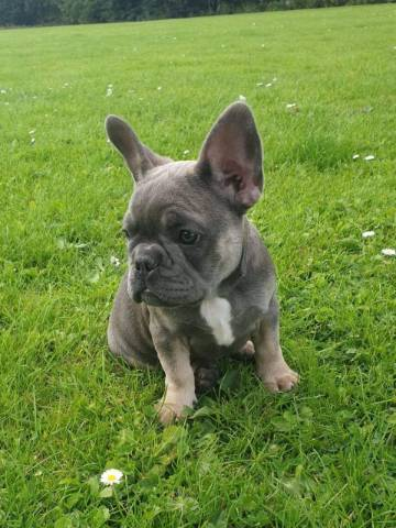 french bulldog puppies for sale temecula - New York ...