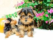 Healthy Male and Female Yorkie Puppies(409) 209-1003
