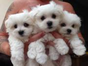 Extra Charming White T-Cup Maltese Puppies Available