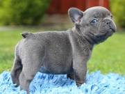 Dream 100% Genuine Male & Female French Bulldog puppies available now