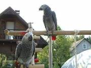 well  trained  african grey parrots