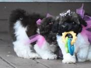 -Playful maltipoo puppies For New Homes