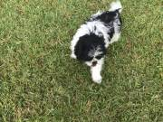 Shih Tzu Puppies ready for new homes