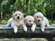Golden retriever puppie ready