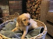 Labrador puppies ready for new homes
