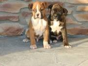 As it ought to be Boxer Puppies