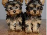 AKC/CKC Registered Tiny Teacup Yorkie Puppies Text (651) 538-0802