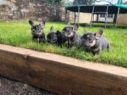 NGHDFXG Pure breed Male & Female puppies Blue French Bulldog puppies