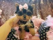 Cute Yorkie Available