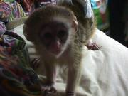 male and female Capuchin and marmoset monkeys ready for new homes