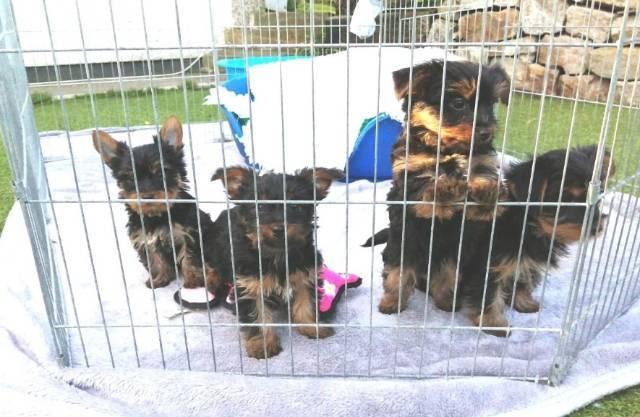 Akc Yorkie Puppies For Sale Virginia Beach Animal Pet