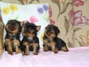 Very Pretty Yorkie Puppies
