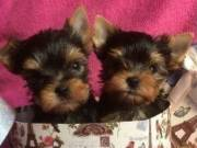 Cute tiny yorkie terrier puppies