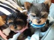 Intelligent And Playful Yorkie Puppies Boy & Girl for sale (409) 209-1003