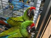 Military Macaws Babys
