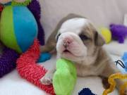 healty and lovel english bulldog puppies for you