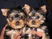 T-Cup male and female Yorkie Puppies for re-homing (409) 209-1003