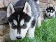 Sweet & playful Siberian Husky for adoption