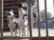 Sweet & playful Siberian Husky and pomskies for adoption