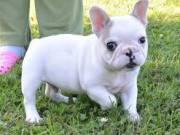 French Bulldog puppies (940) 315-7266