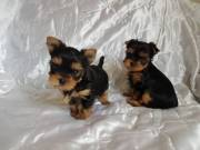 T-Cup male and female Yorkie Puppies for re-homing (917) 524-7859