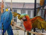 Muelding Macaw parrots Ready Now