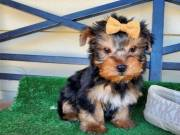 AKC Yorkshire Terrier (Yorkie) for sale