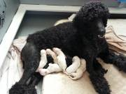 Poodle Litter Apricot & Cream Girl