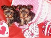 Intelligent Male and female AKC teacup Yorkie puppies for sale 9175247859