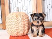 AKC Yorkshire Terrier Text (651) 538-0802