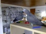 Pair of African Greys for Sale text only via (408) 915-6889