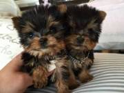 Intelligent teacup Yorkie Puppies Boy & Girl for re-homing (917) 524-7859‬