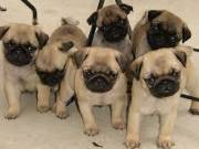 Pug puppies for sale,pugs for sale near me,cheap pugs for sale.