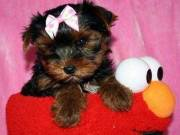 yorkies puppies for adoption